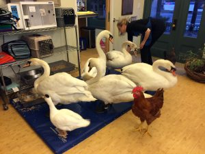 Rehabilitating Swans (The Bird Fund, NY, NY)